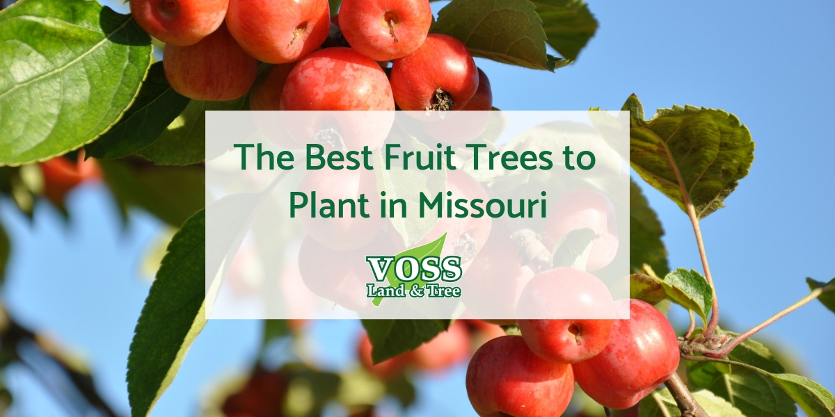 Best Fruit Tress Missouri