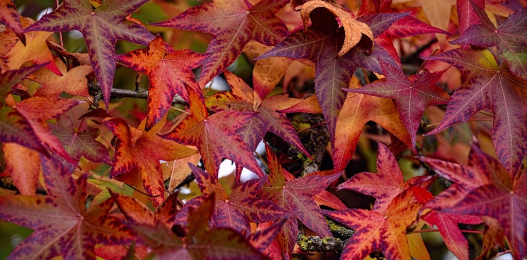 Sweet Gum Colors in the Fall